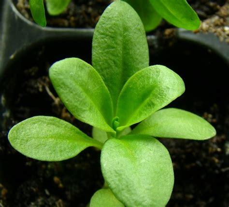 15 Benih Bunga Sweet William Mix cara menanam bunga sweet william dari biji