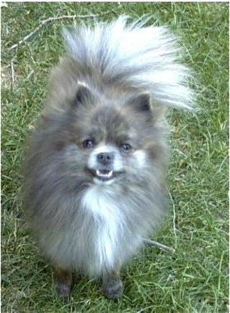 gestation period for pomeranians my guarantee an sales policy