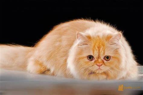 So Untuk Kucing Anggora hewan lucu 2016 hewan kucing images