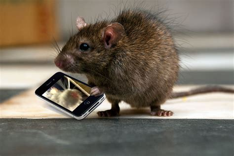 Find With Phone Wakes Up To Find Rat Taking A Selfie With His Phone Metro News