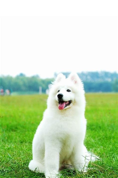 wallpaper iphone 5 dog cute white dog iphone wallpapers iphone 5 s 4 s 3g