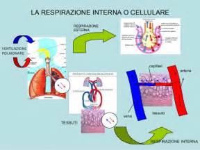 respirazione interna ed esterna apparato respiratorio
