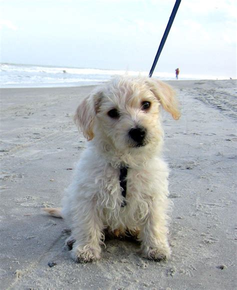 Non Shedding Cross Breed Dogs by Non Shedding Small Mixed Breed Dogs Breeds Picture
