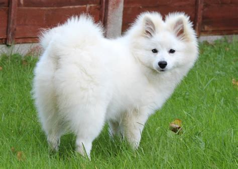 how to a spitz german spitz pictures wallpapers9
