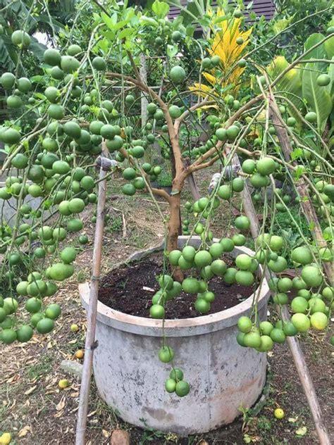 cara membuat otak otak daun kelapa jika tanam pokok tapi malas nak berbuah cuba ikut