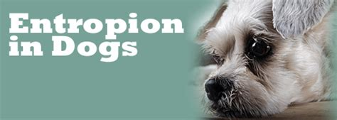 entropion in dogs entropion in dogs is a major discomfort what can i do about it solved