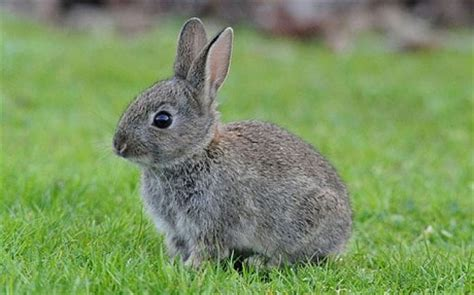 new year rabbit facts qi some quite interesting facts about rabbits telegraph