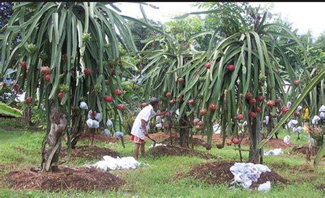Bibit Buah Naga Banyuwangi jual bibit buah naga banyuwangi 087784795307 berkwalitas