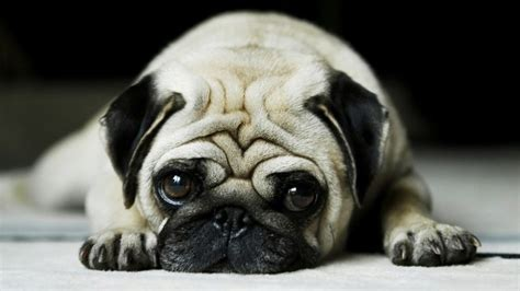 how to care for pugs how to take care of a pug puppy pets world