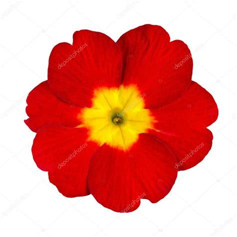 primula rossa fiore fiore rosso e giallo primula isolato foto stock 169 tr3gi