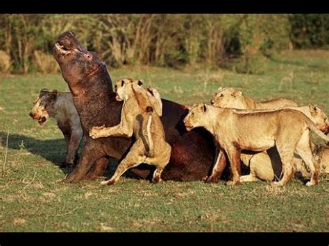 imagenes de leones fuertes image gallery leones salvajes atacando