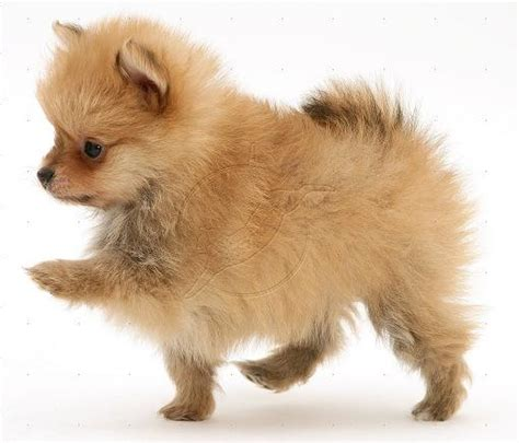 pomeranian clothing pomeranian clothes pomeranian information breeds picture