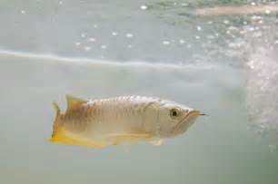 Freshwater Fish Gallery For Gt Rare Freshwater Fish