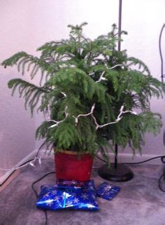 how to care for an indoor norfolk pine tree trees lush