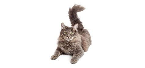 cat hair domestic medium hair cat insurance reviews and comparisons