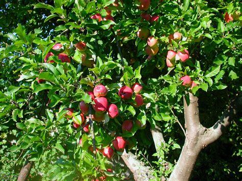 apfelbaum garten 196 pfel apfelbaum obstb 228 ume garten obstplantage