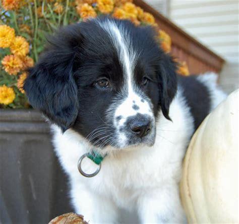 newfoundland mix puppies golden newfie info breeds picture