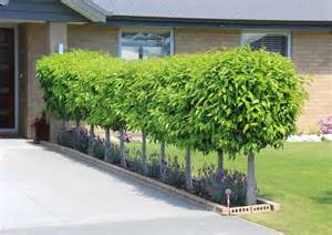 portuguese laurel topiary prunus lusitanica new zealand easy big trees