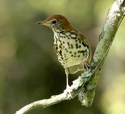 what does wood symbolize thrush bird