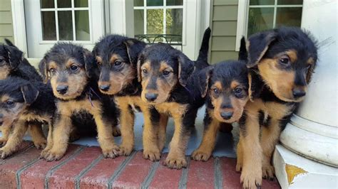 airedale puppies for sale california airedale terrier puppies for sale s s family