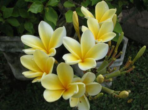 fiore profumato lonely planet italia pranghipani fiore tipico di bali