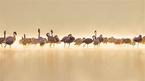 flamingo macbook wallpaper me79 flamingos peace animal nature birds papers co