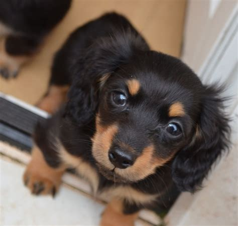 hair daschund puppies gorgeous miniature haired dachshund puppies brixham