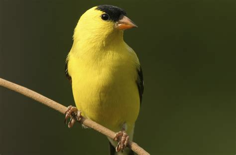 facts about goldfinches learn more about this agile bird