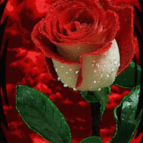 imagenes con movimiento de rosas rojas image gallery imagenes de rosas