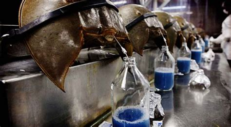 what color is horseshoe crab blood the blue blood of a horseshoe crab is precious