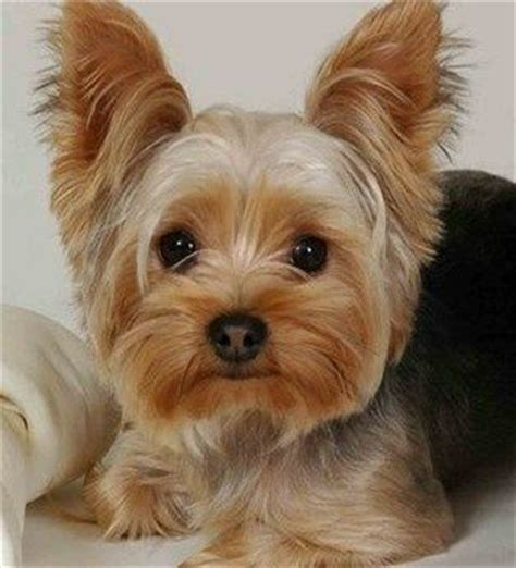 sneezing yorkie the 18 breeds least likely to make you sneeze yorkie sweet and yorkies