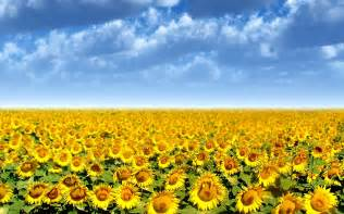 sunflower field wallpaper 265822 sunflower field wallpaper 265822