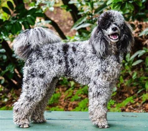 moyen poodle lifespan klein moyen poodles for sale breeds picture