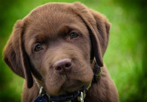 chocolate lab puppies colorado chocolate lab puppies as sweet as they sound lovable labradors
