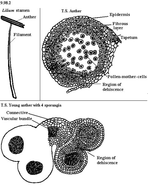 ovary cross section ovary cross section pictures to pin on pinterest pinsdaddy