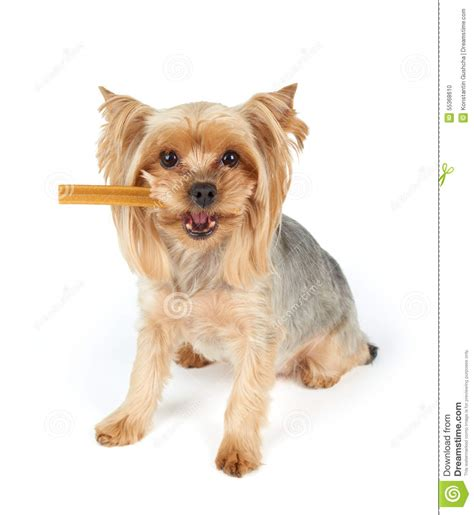 dog  dental stick   mouth stock photo image