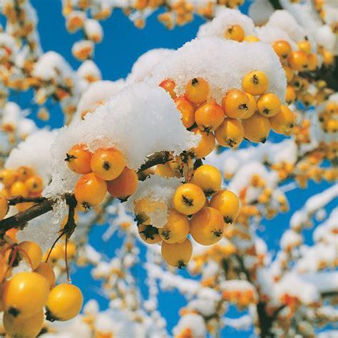 malus da fiore malus o melo da fiore