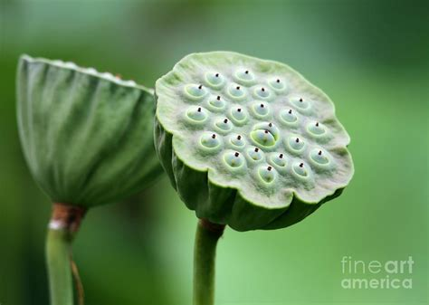 lotus seed pods photograph lotus seed pods fine art