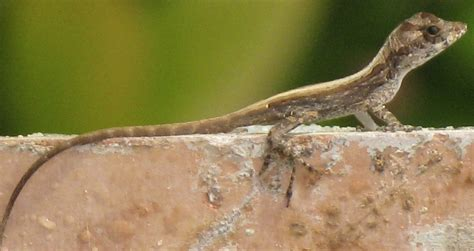 where to find lizards in your backyard how to catch a lizard in your backyard 28 images