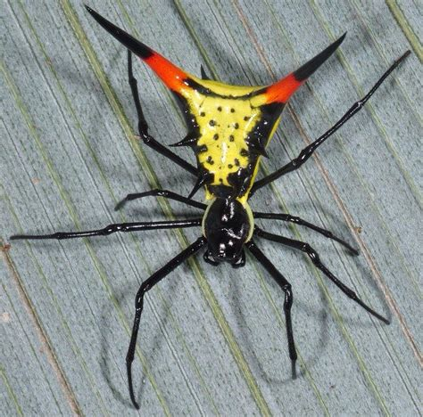 spider with yellow pattern on back 187 best images about spider arena on pinterest wolves