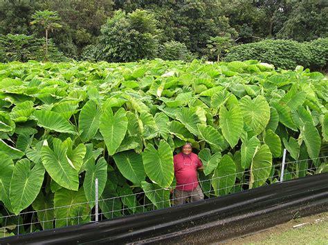 hawaii state plant kalo taro