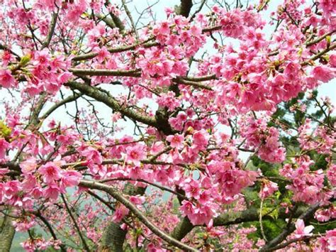 cherry bloosom tree trees images cherry blossom tree wallpaper and background photos 19838738