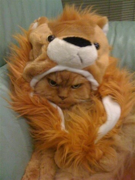 cat doesnt   lion costume pictures
