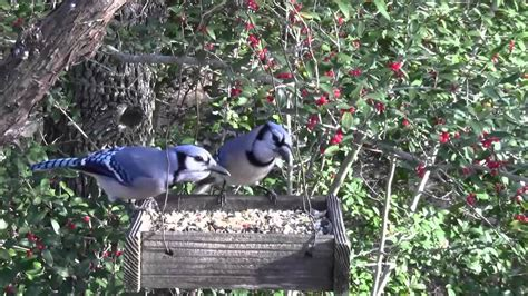 best 28 how to keep bluejays away from bird feeder 21