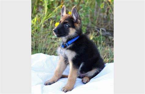 newborn german shepherd puppies german shepherd puppy baby puppy