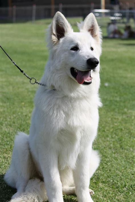 breed german shepherd description white german