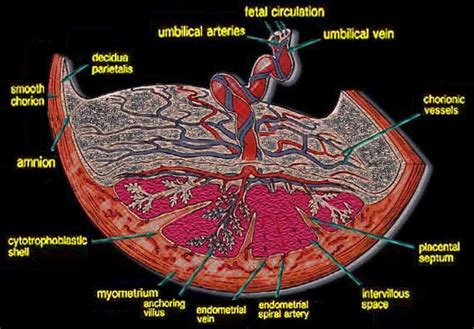 diagram of a placenta ch28 early development