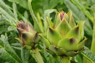 how to grow artichokes harvest to table
