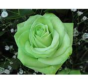 Green Rose Flowers  Black And Yellow Baground