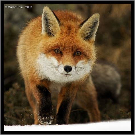 libro the man red fox 53 best ideas about foxes on silver foxes gray and fine art print